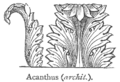Chambers 1908 Acanthus.png