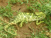 220px-Chameleon,_Mysore.jpg