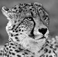 Cheetah Head bw2 (4505907113).jpg