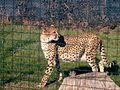 Cheetah Italy.JPG