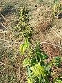 Chenopodium hybridum sl16.jpg
