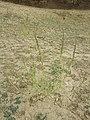 Chenopodium urbicum sl45.jpg