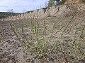 Chenopodium urbicum sl61.jpg