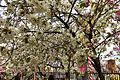 """Cherry-Blossom-Viewing through the """"Tunnel"""" at Japan Mint in 201504 032.JPG"""
