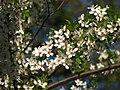 Cherry blossom (Cerasus) 11.JPG