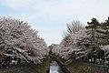 Cherry blossom near Zenpukuji river, Tokyo; March 2008 (08).jpg