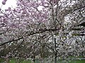 Cherry blossom time in Battersea Park - geograph.org.uk - 730004.jpg