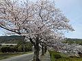Cherry blossom trees at road side near Kinryū Ikoi-no-Hiroba Park Saga 2016.JPG