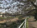 Cherry trees on bank of Inogawa River 2.jpg