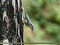 Chestnut-bellied Nuthatch (Sitta cinnamoventris) (36283918693).jpg