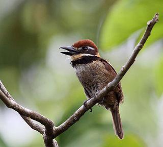 Chestnut-capped puffbird species of bird