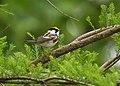Chestnut-sided Warbler (40886088113).jpg