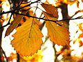 Chestnut Oak Leaves - Flickr - treegrow (1).jpg