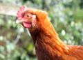 Chicken portrait.jpg