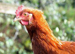 Chicken portrait