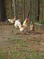 Chickens-in-woods2.jpg
