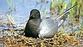 27 / Black Tern