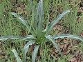 Chlorogalum pomeridianum aka Soap Plant.JPG