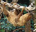 Cholepus didactylus - Flickr - Dick Culbert.jpg