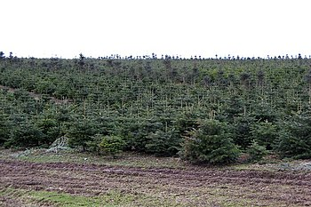English: Christmas trees, Elsrickle One of sev...