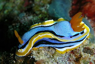 <i>Chromodoris annae</i> species of mollusc