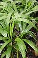 Chrysalidocarpus lutescens 2zz.jpg