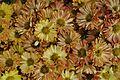 Chrysanthemum - Science City - Kolkata 2012-01-11 8023.JPG