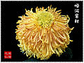 Chrysanthemum Contest2.jpg
