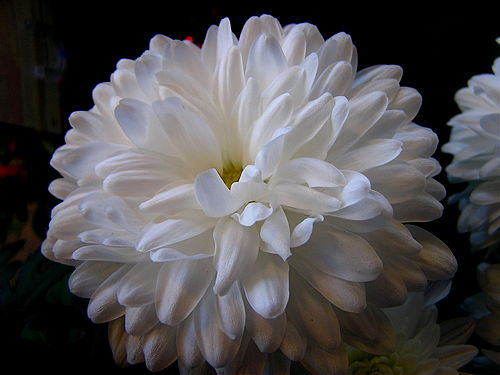 Chrysanthemum aka white mums