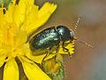 Chrysomelidae - Cryptocephalus virens.JPG