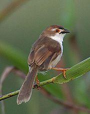 Yellow-eyed Babblervery common resident
