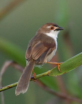 Old World warbler - Chrysomma sinense, the yellow-eyed babbler, is a sylviid closely related to parrotbills.