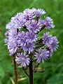 Cicerbita alpina - Schweiz - Julierpass- 0187.jpg