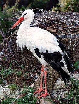 Fehér gólya (Ciconia ciconia)