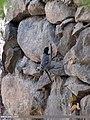 Cinereous Tit (Parus cinereus) (15702323627).jpg