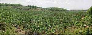 Agriculture in Ivory Coast - A banana plantation in Ivory Coast