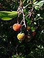 Cireres d'arboç a la zona del revolt de la paella P1050984.jpg