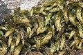 Cirriphyllum crassinervium (a, 143924-475443) 6278.JPG