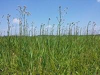 Cirsium brachycephalum sl2.jpg