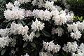 City of London Cemetery - flowering shrubs 03.jpg