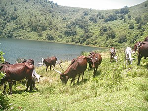 Muanenguba Lakes - Grazing cattle at Muanenguba Lakes in Cameroon.