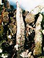 Cladonia coniocraea-2.jpg