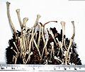 Cladonia deformis.jpg