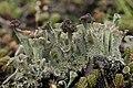 Cladonia sp. (38934762415).jpg