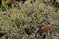 Cladonia sp. (39124161124).jpg