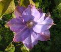 Clematis-cultivar.jpg