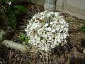 Clerodendrum schweinfurthii (Verbenaceae) flowers.JPG