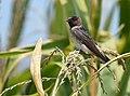 Cliff Swallow - juvenile (29135097987).jpg