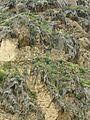 Cliff vegetation - Flickr - pellaea.jpg