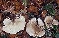Clitocybe nebularis or Clitocybe geotropa, Radyr Wood, November 1991 (22843382668).jpg